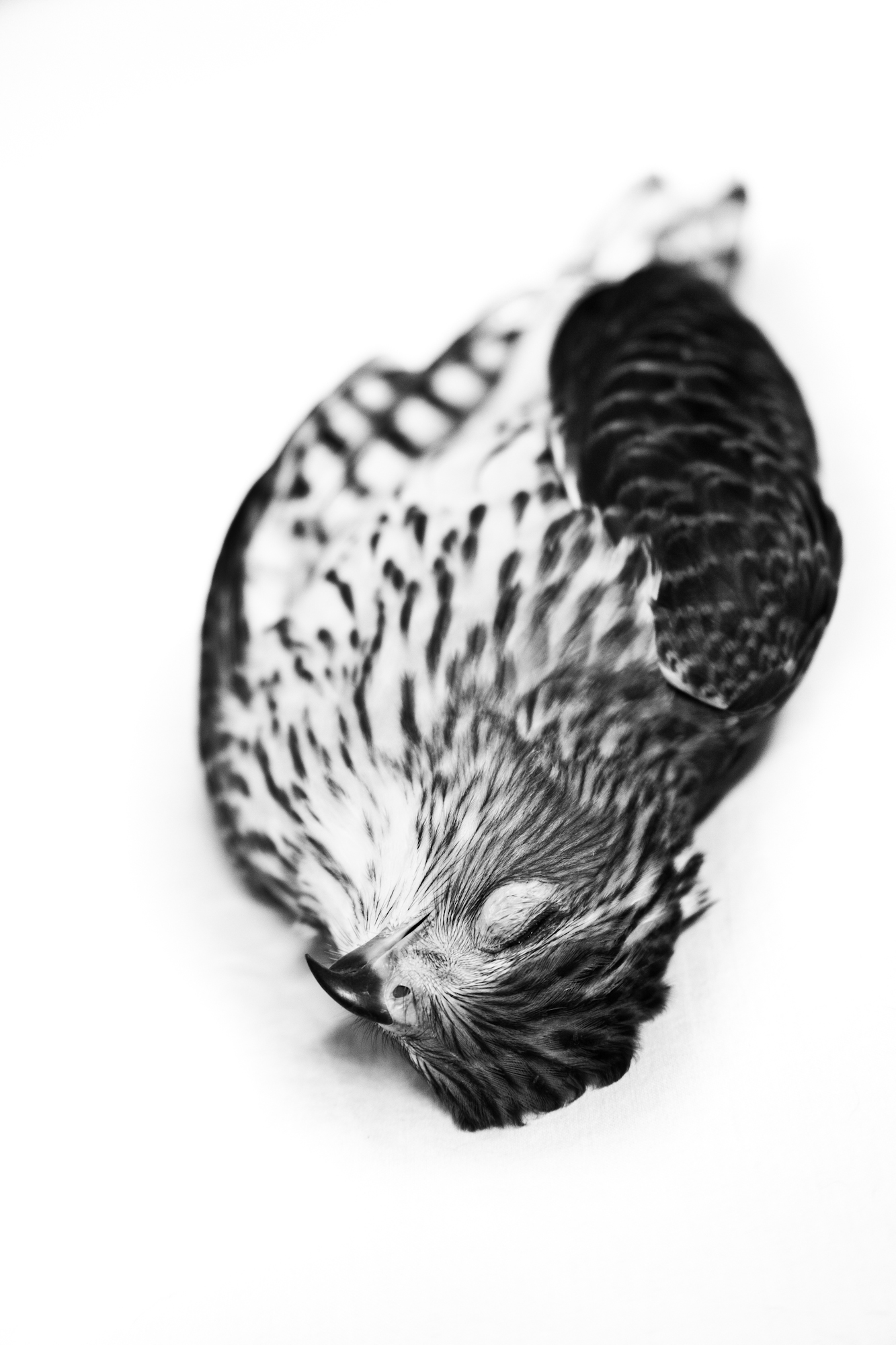 Hawk, Hudson NY 2013 - Kate Sterlin