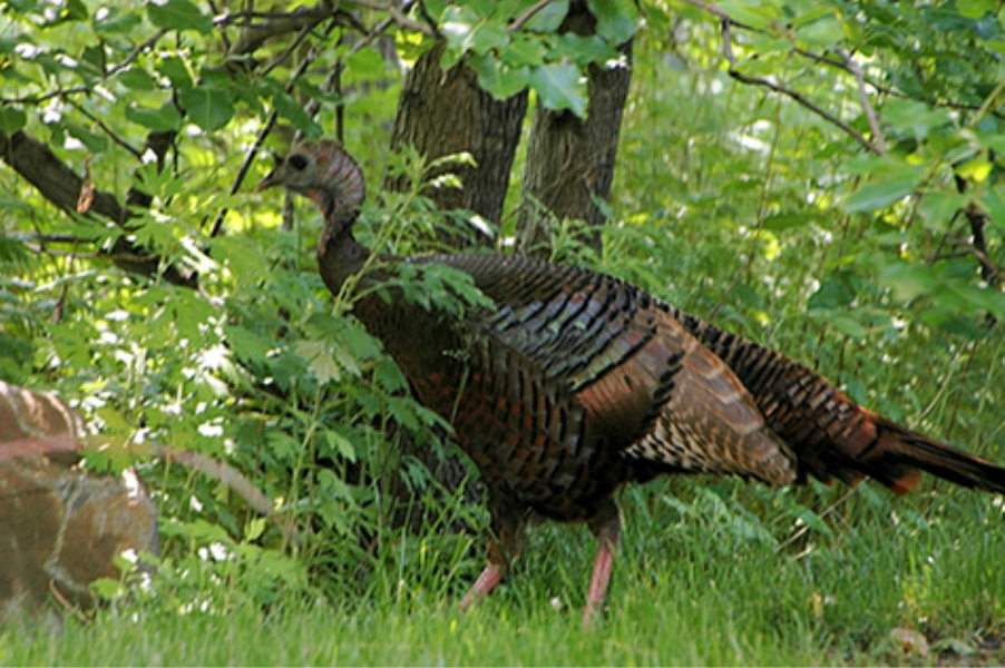 Teaneck Creek Conservancy Wild Turkey.jpg