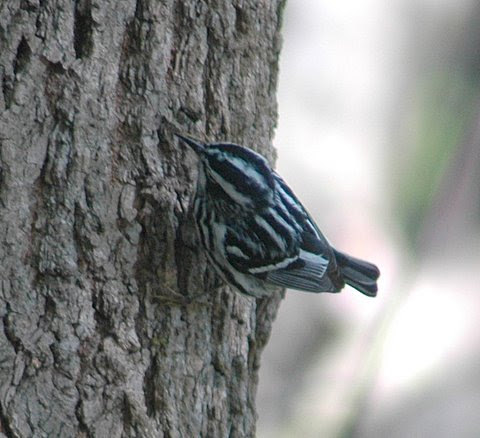 Black and white Warbler STRIPEY.JPG