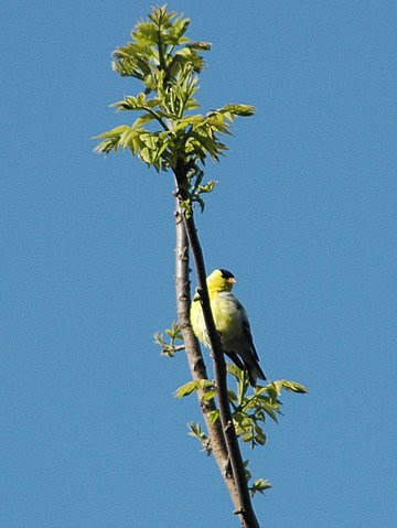 Eastern Goldfinch.JPG
