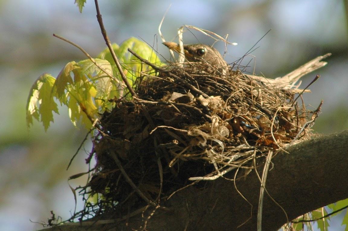 Nesting Robin.jpg
