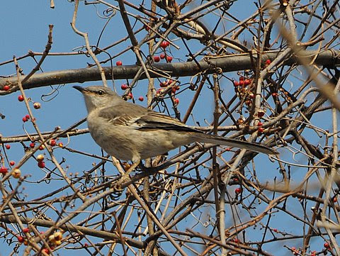 Northern Mockingbird.JPG