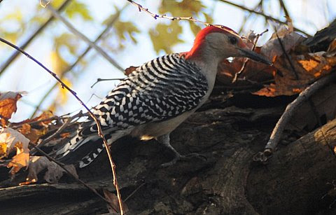 Red-Bellied Woodpecker.jpg