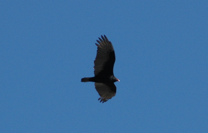 Turkey Vulture.JPG