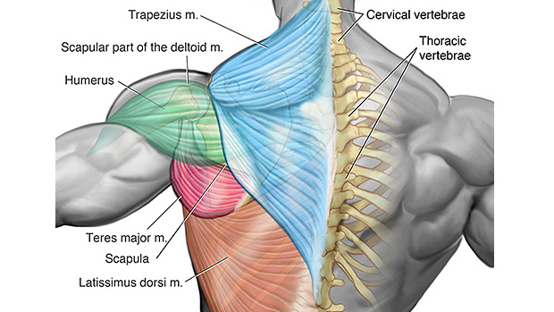 Upper-Back-Muscles.jpg