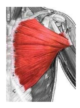 Notice the pull line from the clavicle,sternum and ribs.