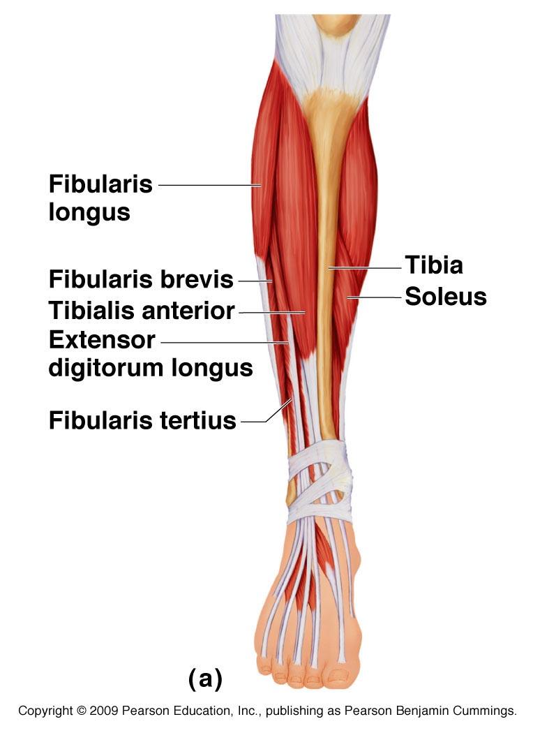 Anterior view of the lower leg (Pearson Benjamin Cummings)