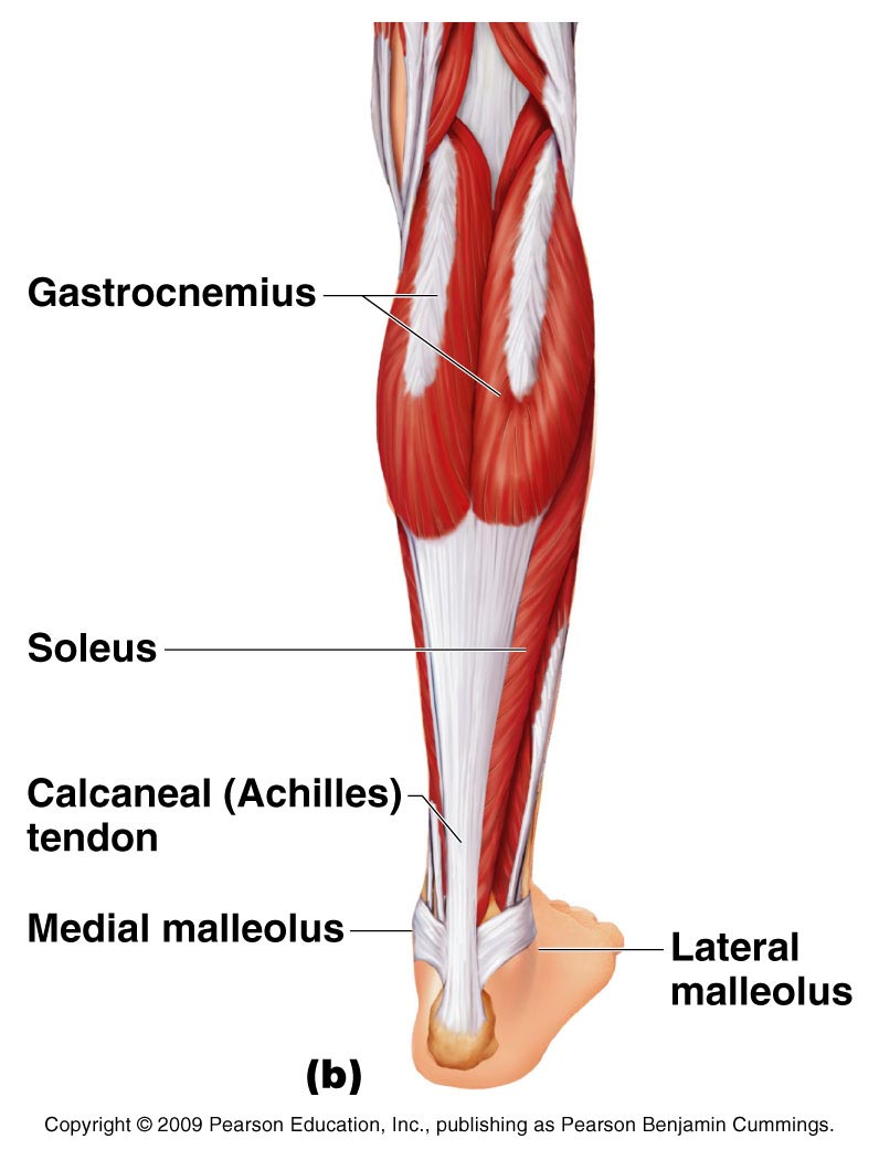 Posterior view of the lower leg (Pearson Benjamin Cummings)