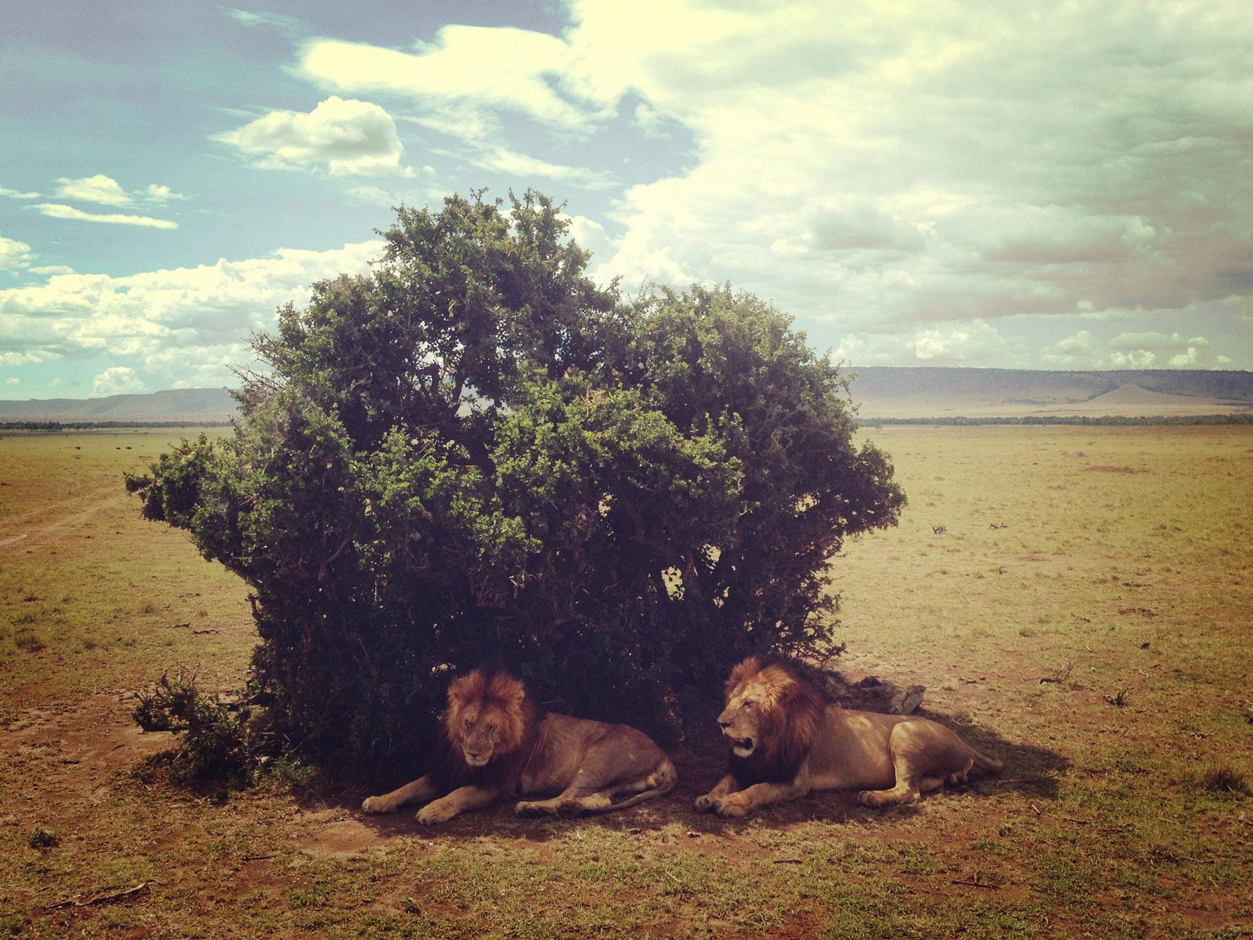 Mara_lionbrothers3.jpg