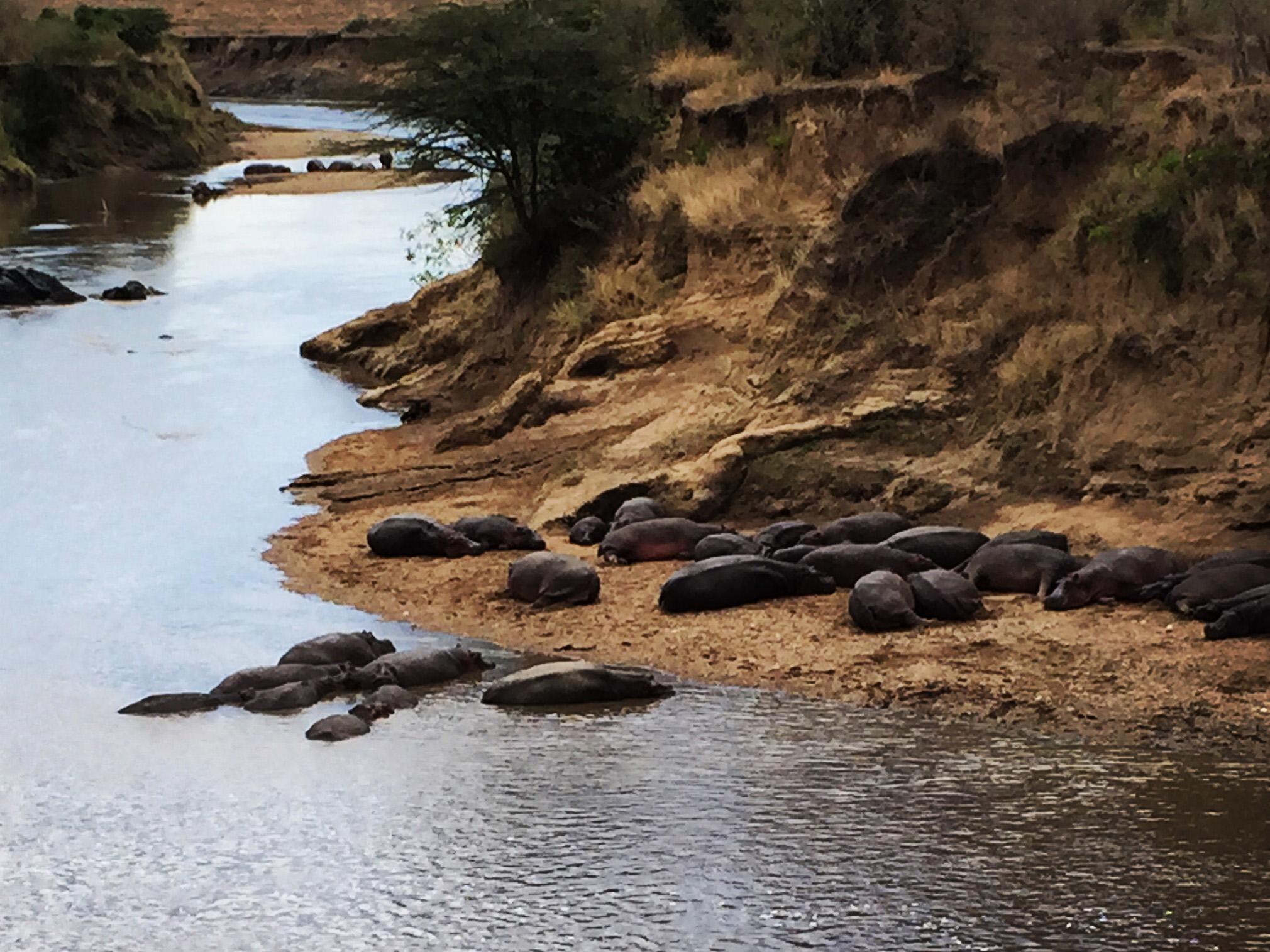 8 hippos2 (1).jpg