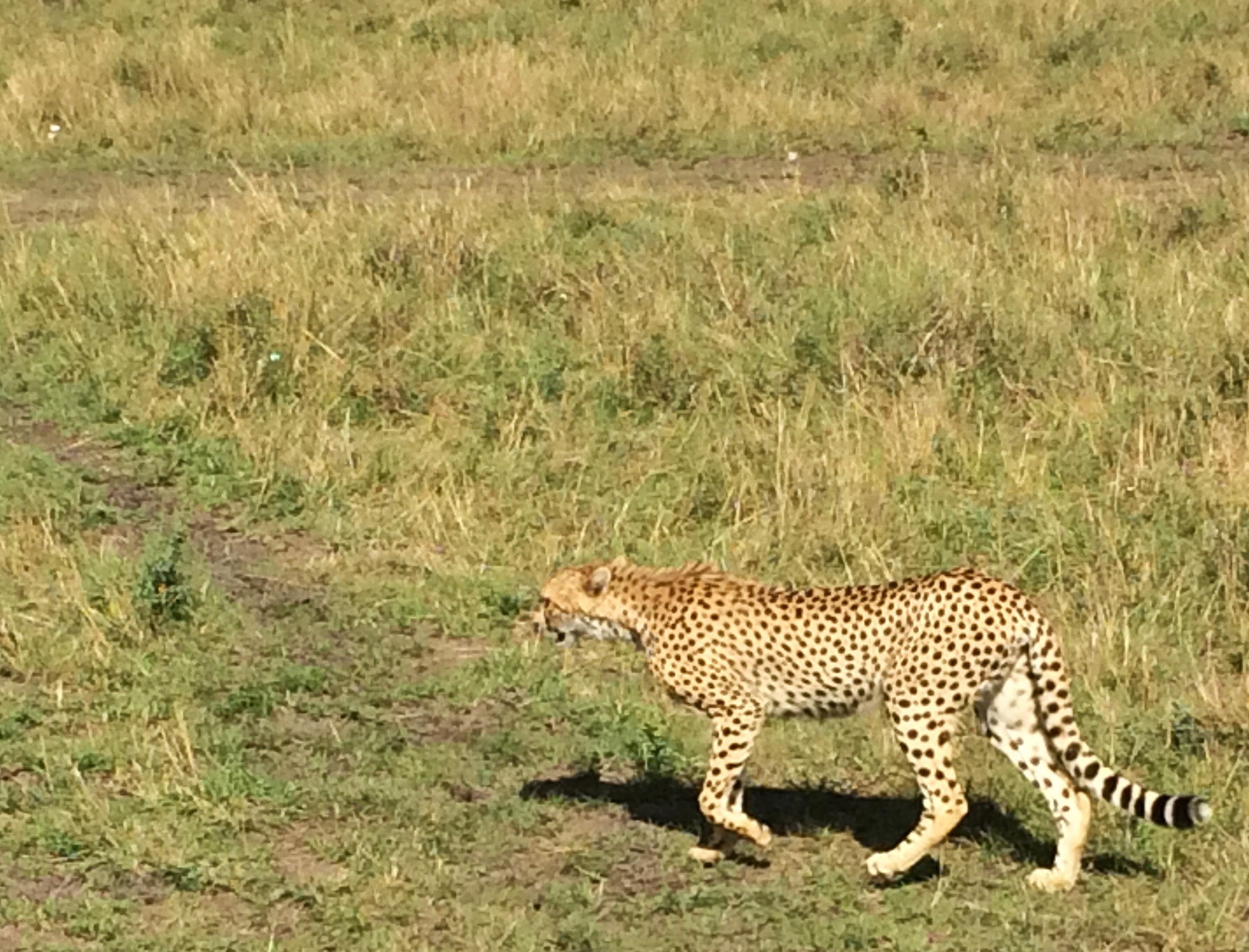 cheetah prowl.jpg