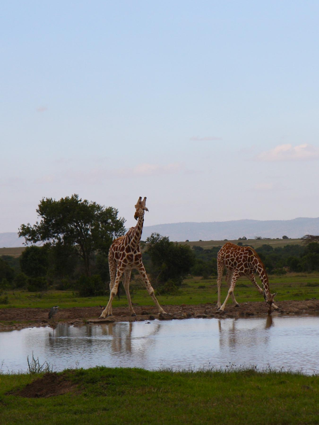 Sweetwater_giraffedrink.jpg