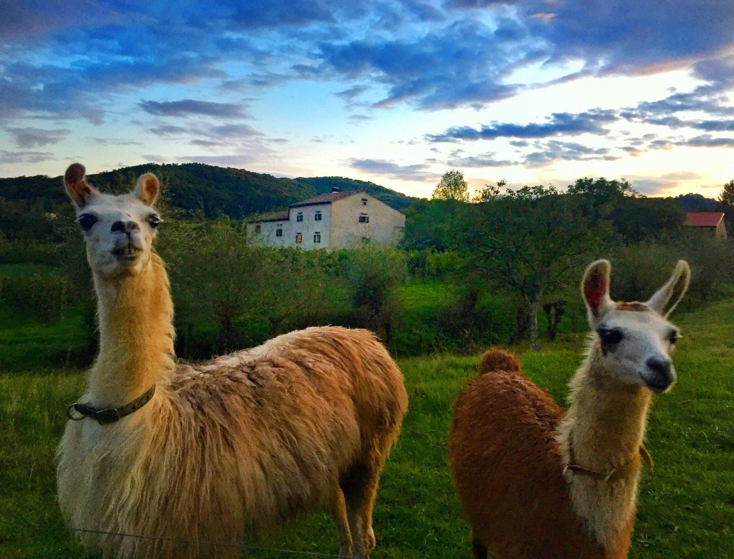 Llamas.jpg