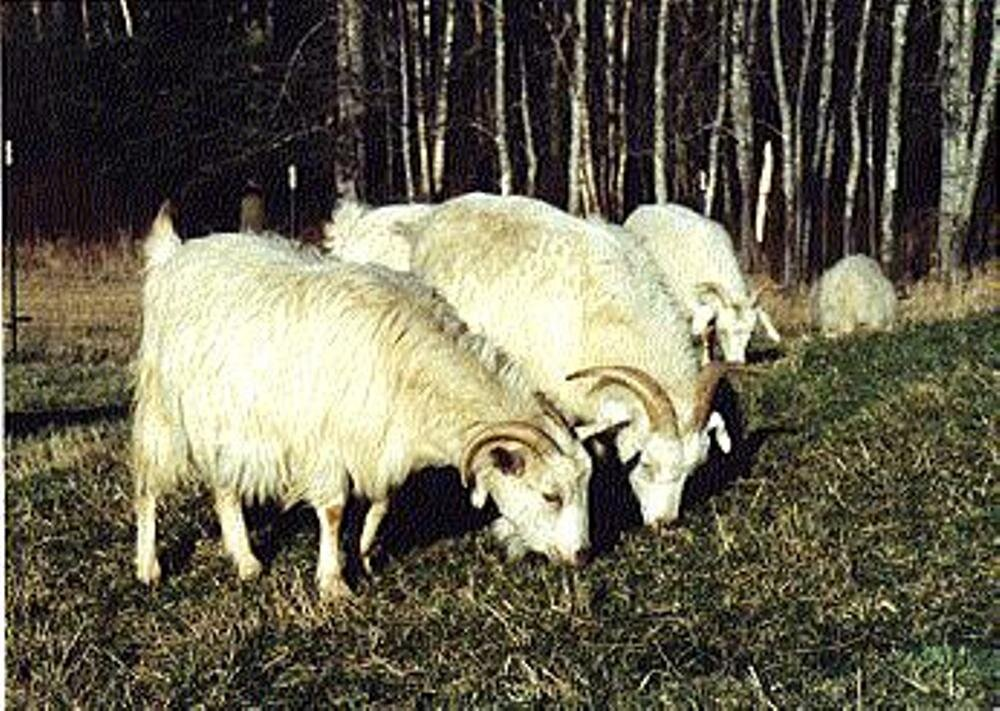 cashmere goat pic 2.jpg