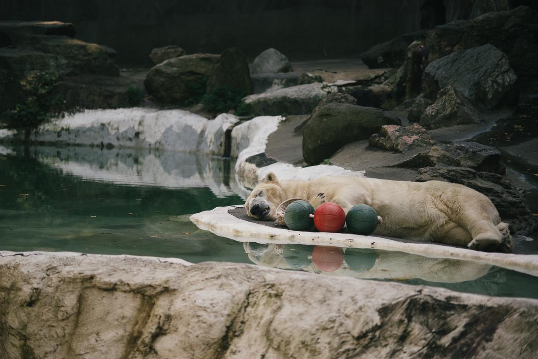 bronx-zoo-nyc-animal-travel-ny-wildlife-photography-polar-bear-0015.jpg