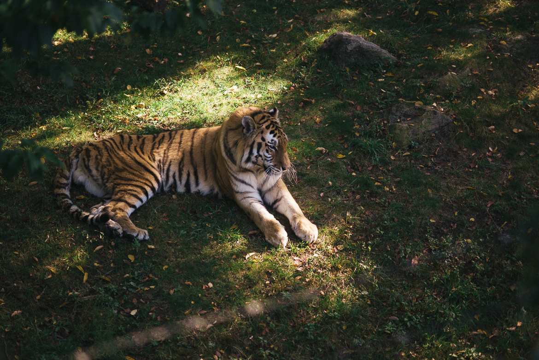 bronx-zoo-nyc-animal-travel-ny-wildlife-photography-tiger-0019.jpg