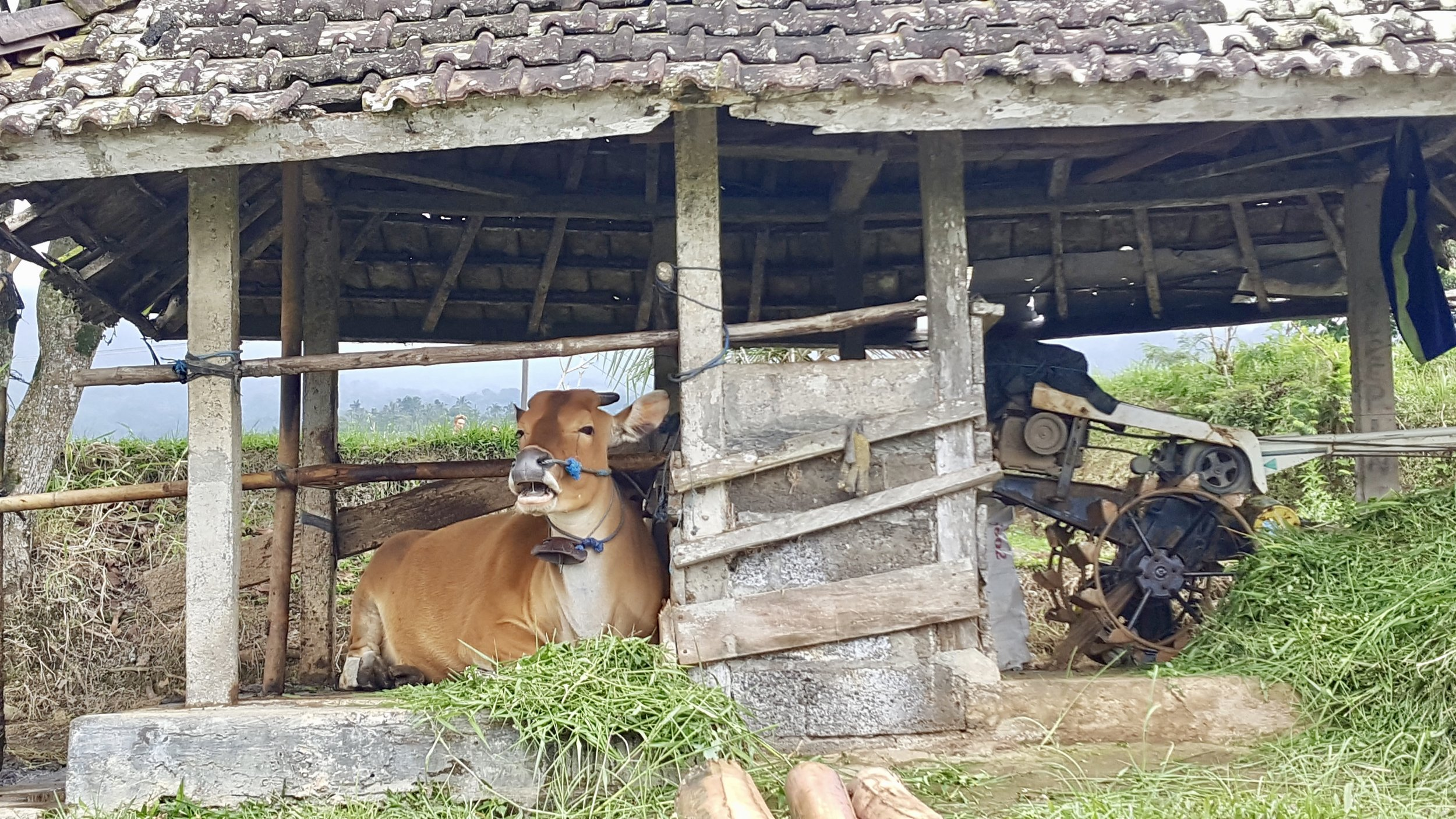 Cow at Jatiluwih Rice Terraces, Bali, Indonesia