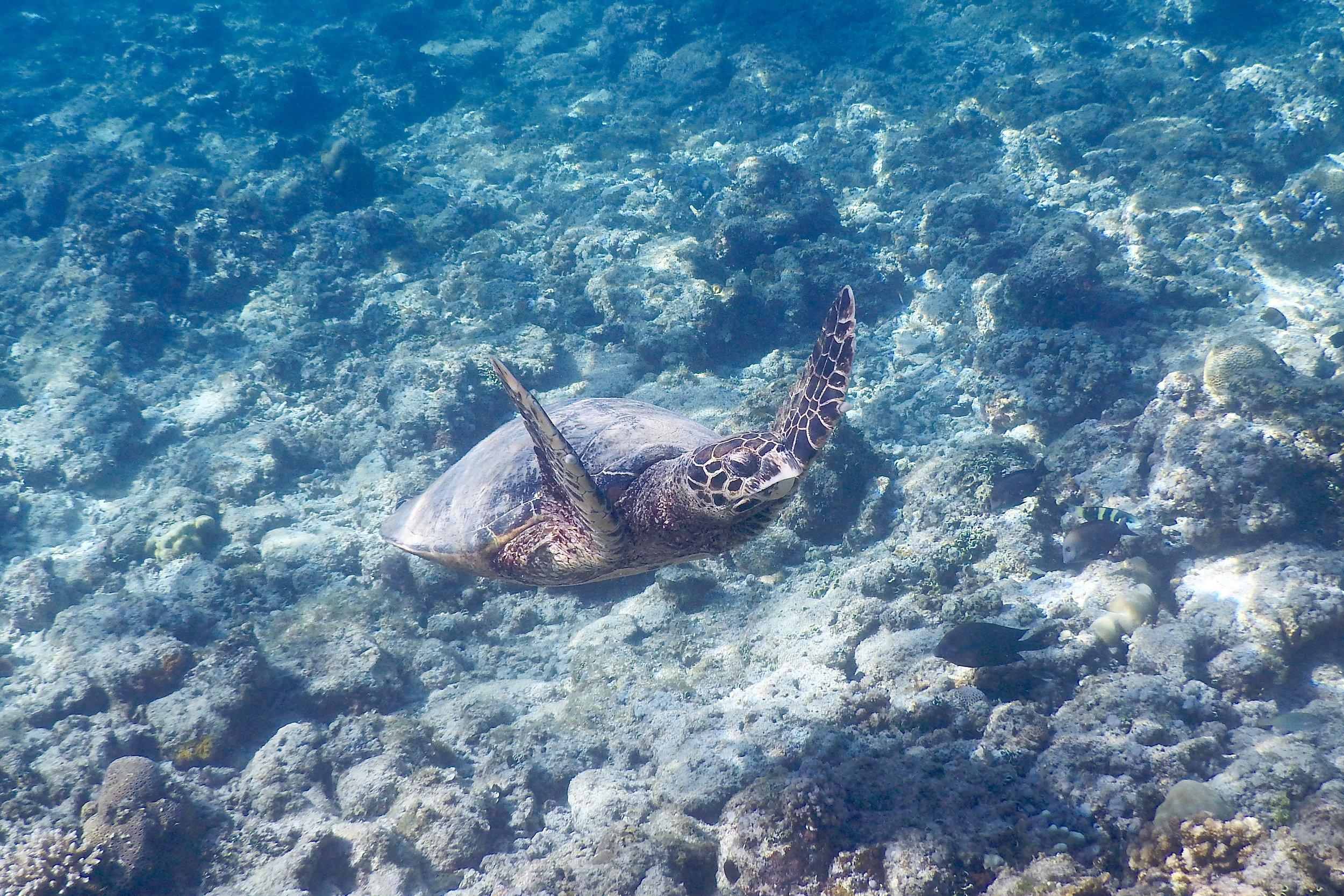 Green sea turtle, Gili Air, Lombok, Indonesia