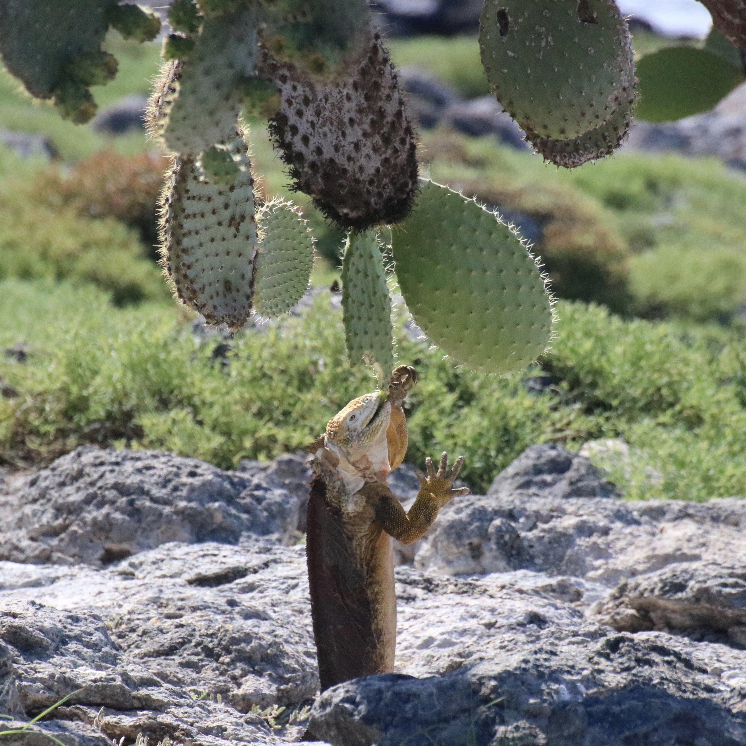 A land iguana reaching to eat a cactus;Santa Fe island