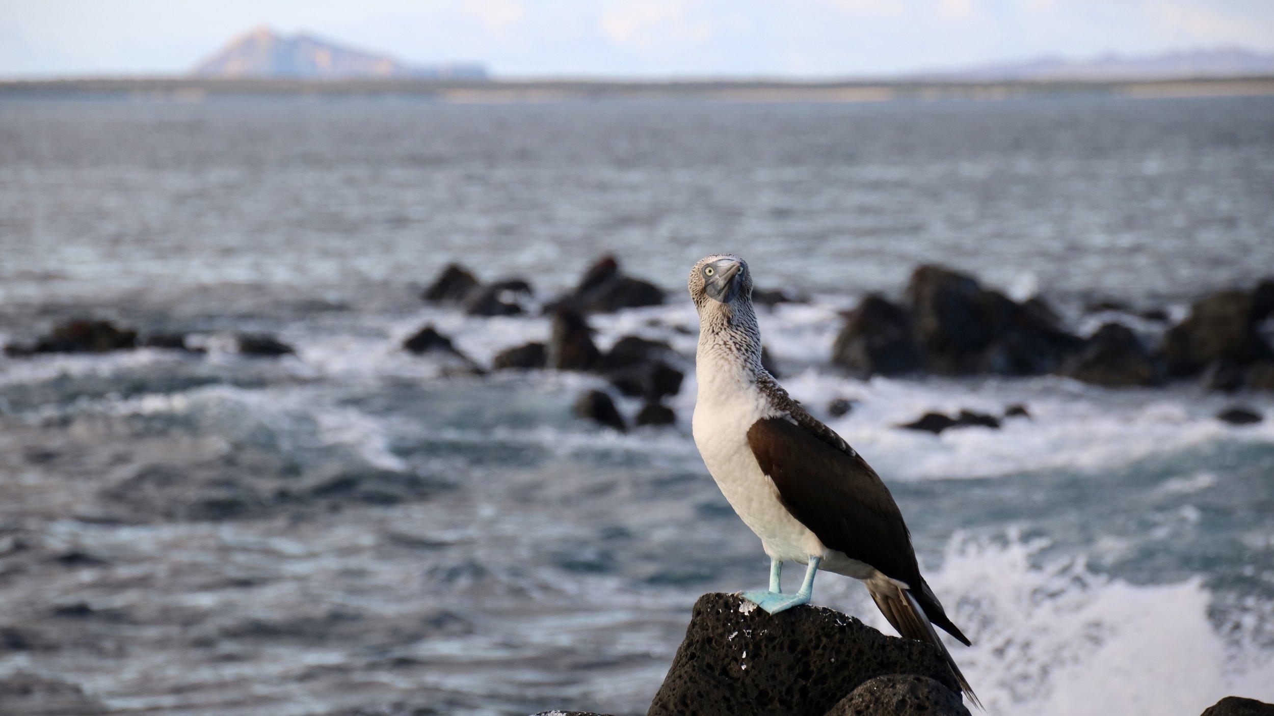 Blue-footed booby & Kicker Rock,Santa Fe Island