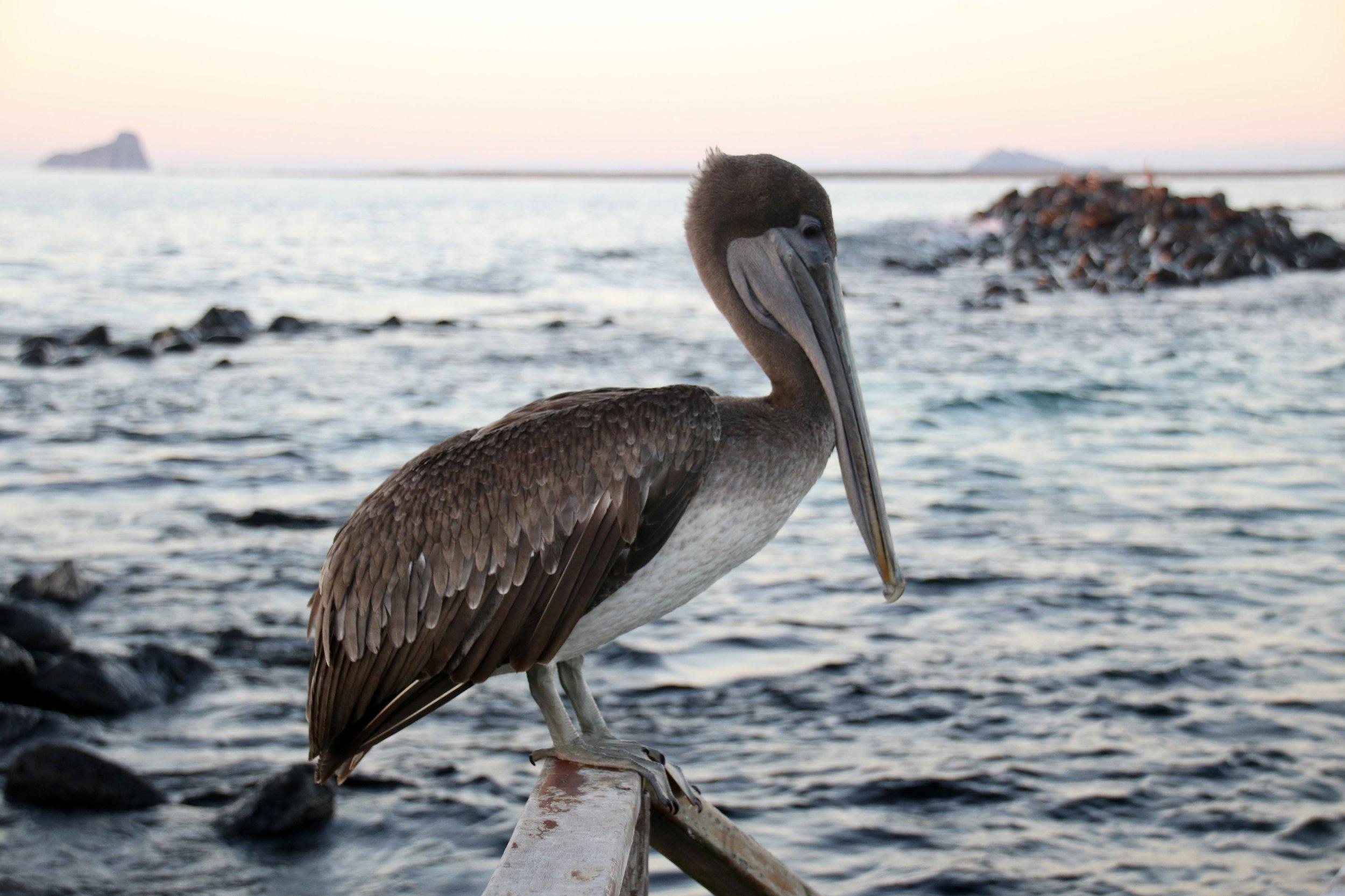 Pelican, Galapagos Islands, @acrosslandsea