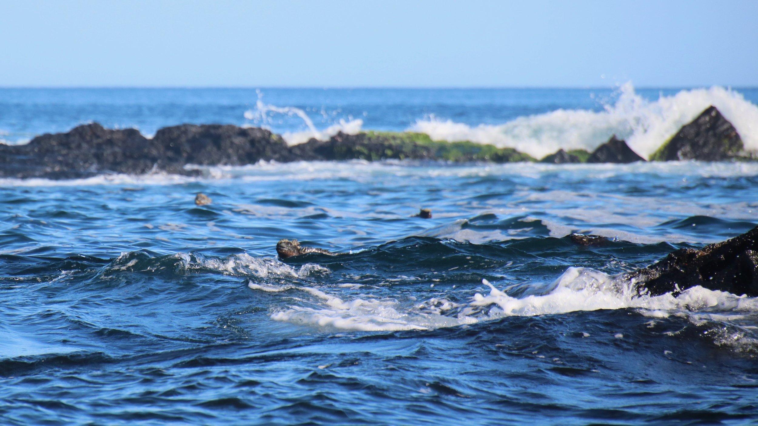 Marine iguanas; Espinoza Point Fernandina Island