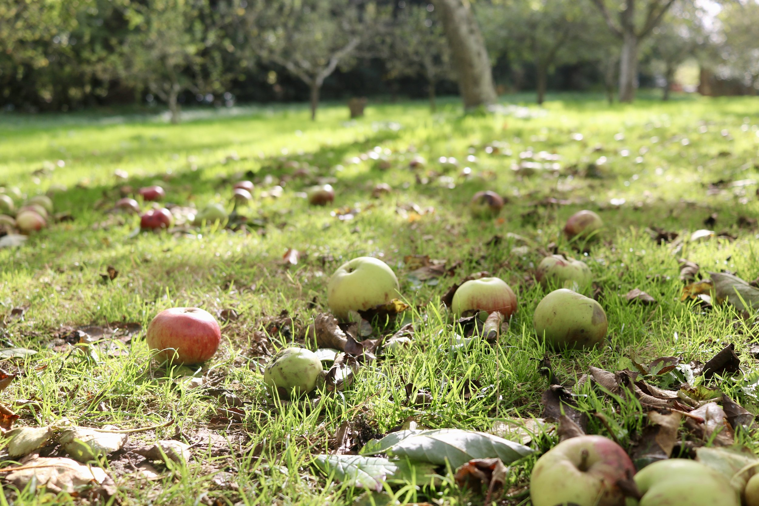 Fallen apples on the ground in the Cotswolds, England