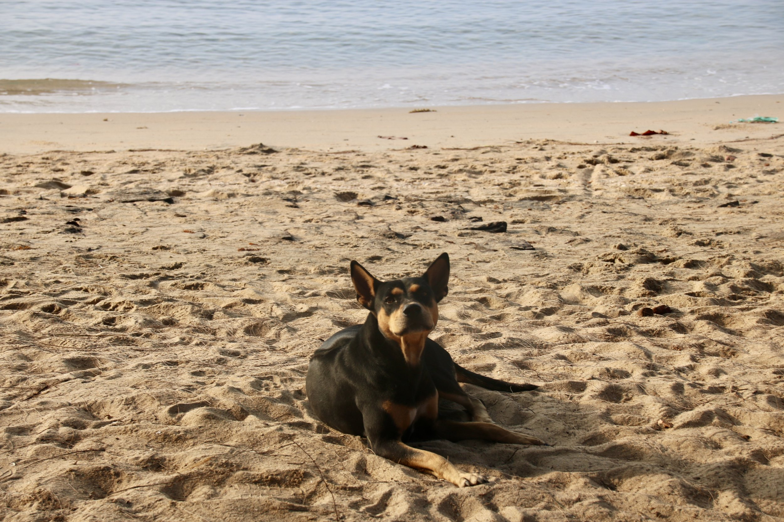 Dog meat trade in Vietnam - dog on the beach on Phu Quoc