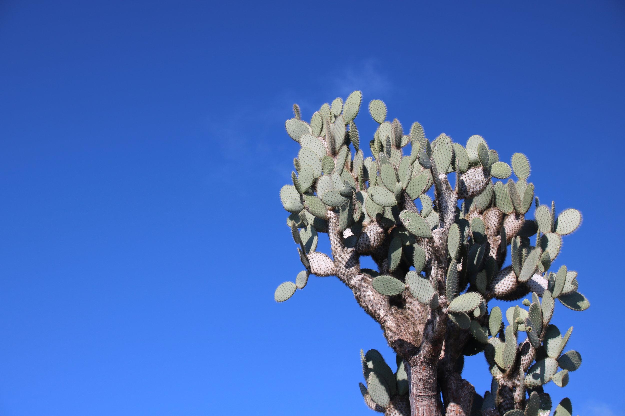 Cactus, Galapagos islands