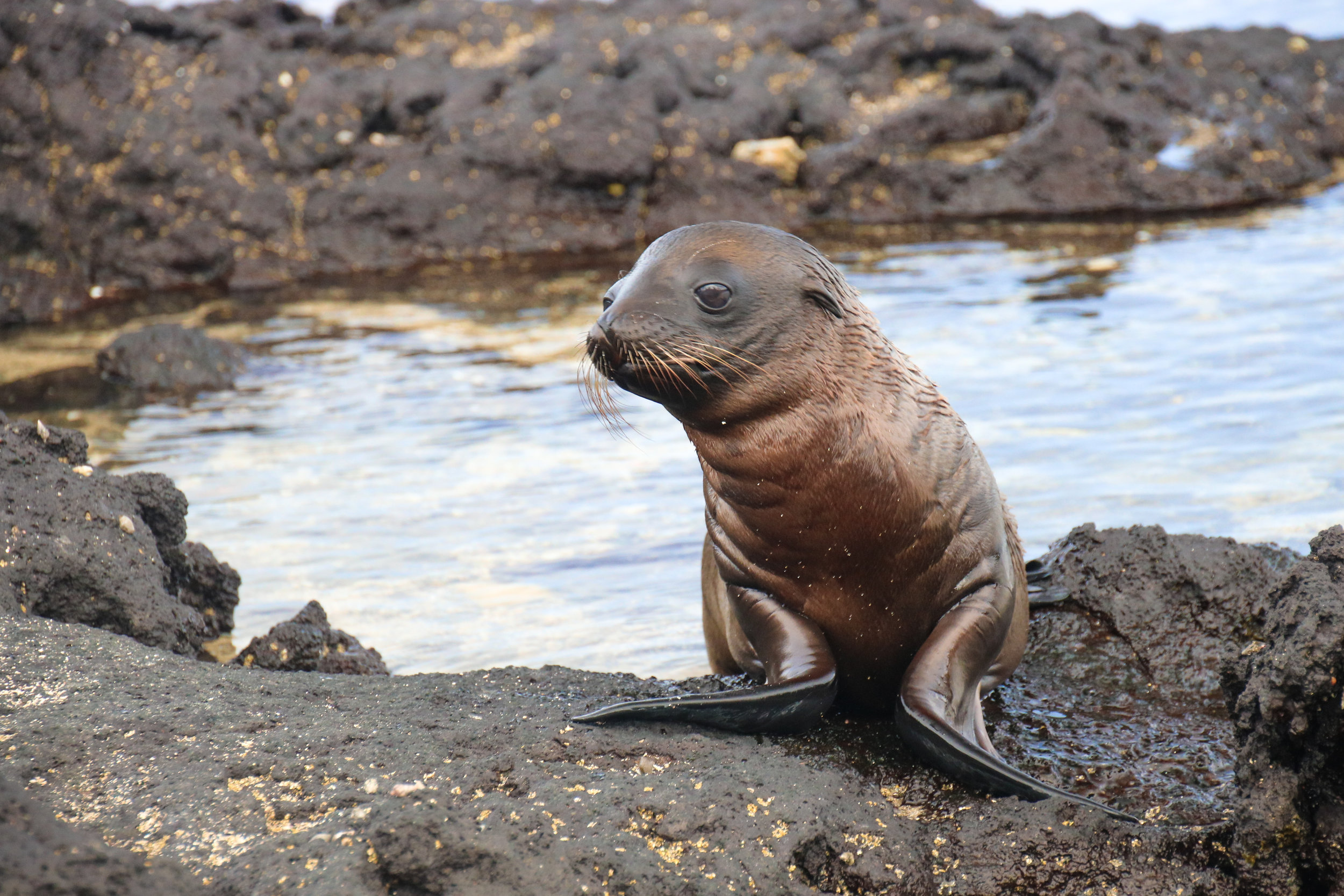 Galapagos sea lion pup. Ecuador. Across Land & Sea