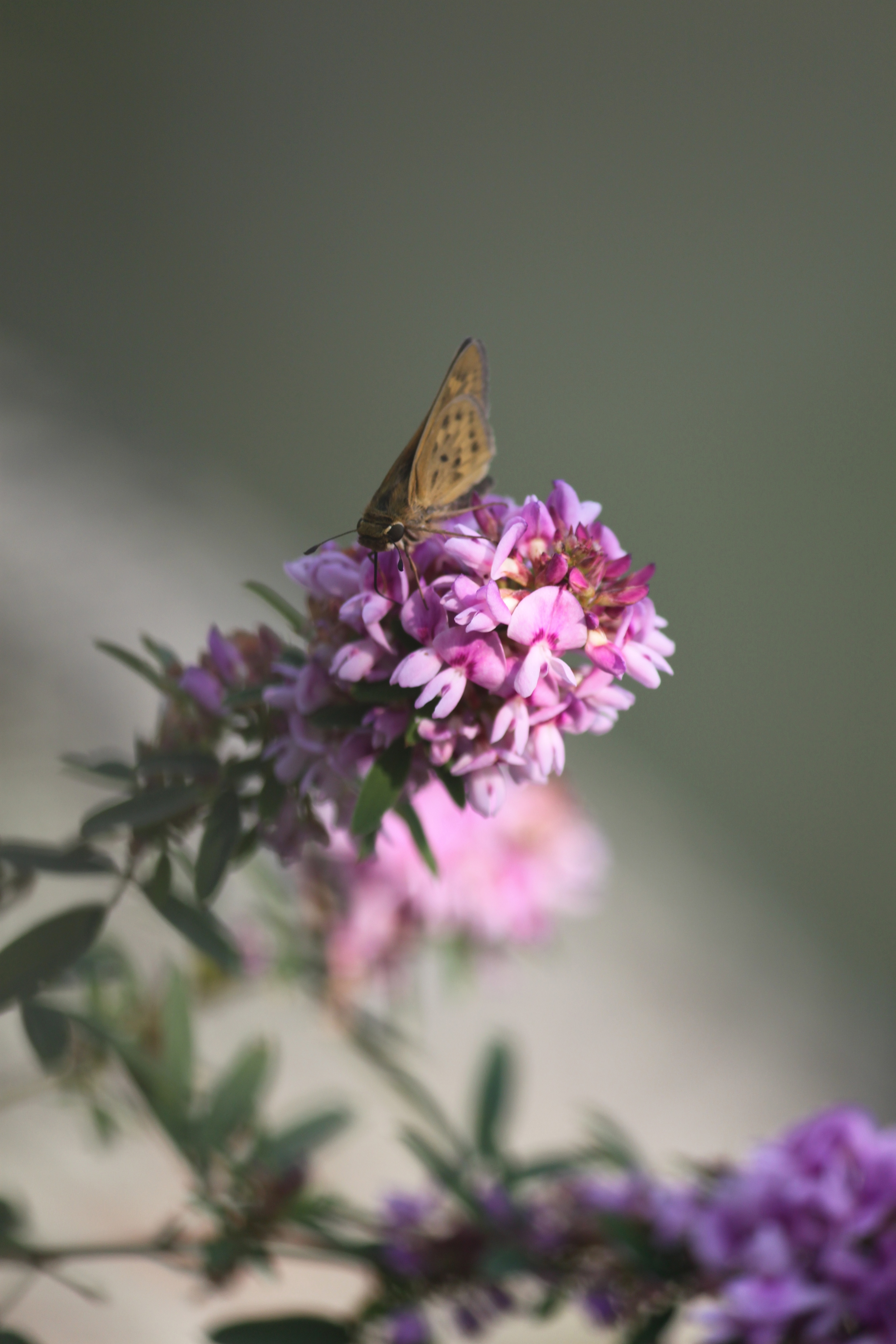 Business as usual for a butterfly in August