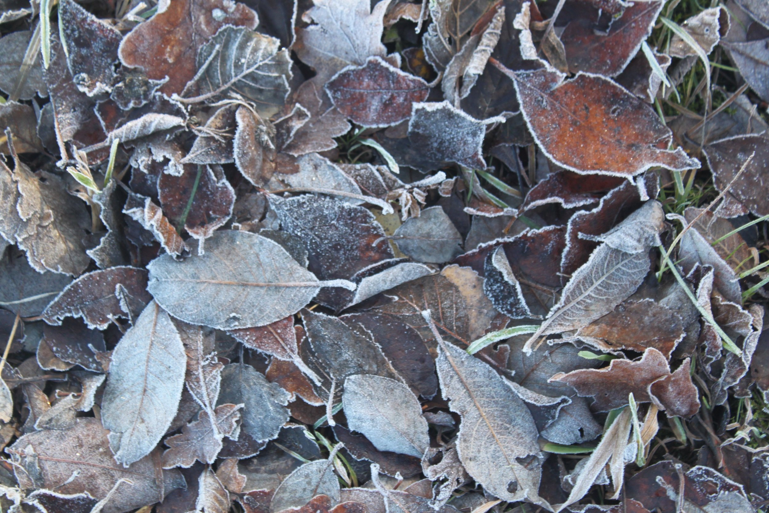 I love how frost puts a natural outline on leaves like this. They kind of get a second life that way.
