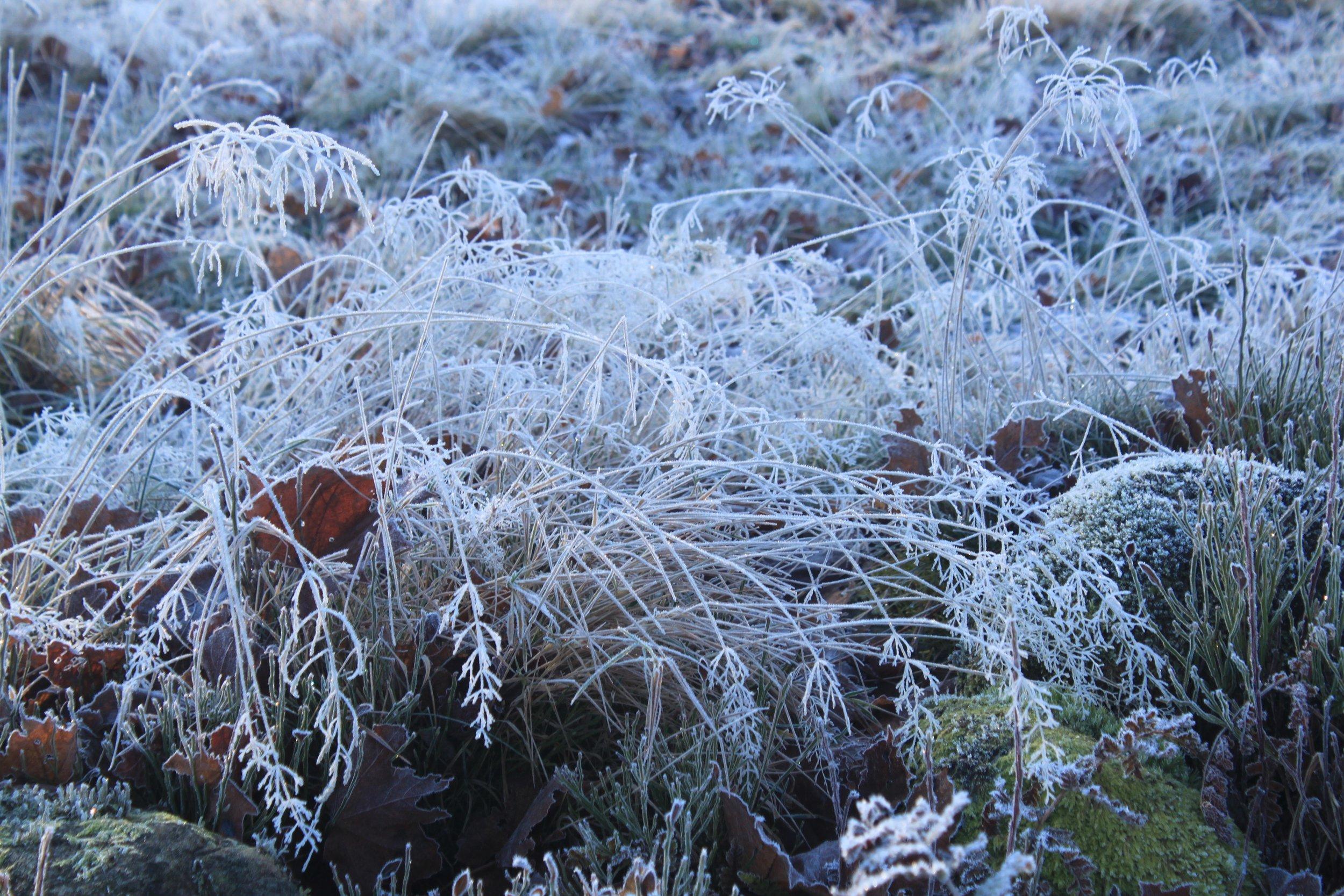 I'm not sure what this grass is, but the frost turned it a true white. It was all over the fields, which made them look like they were covered in some sort of wispy cotton.