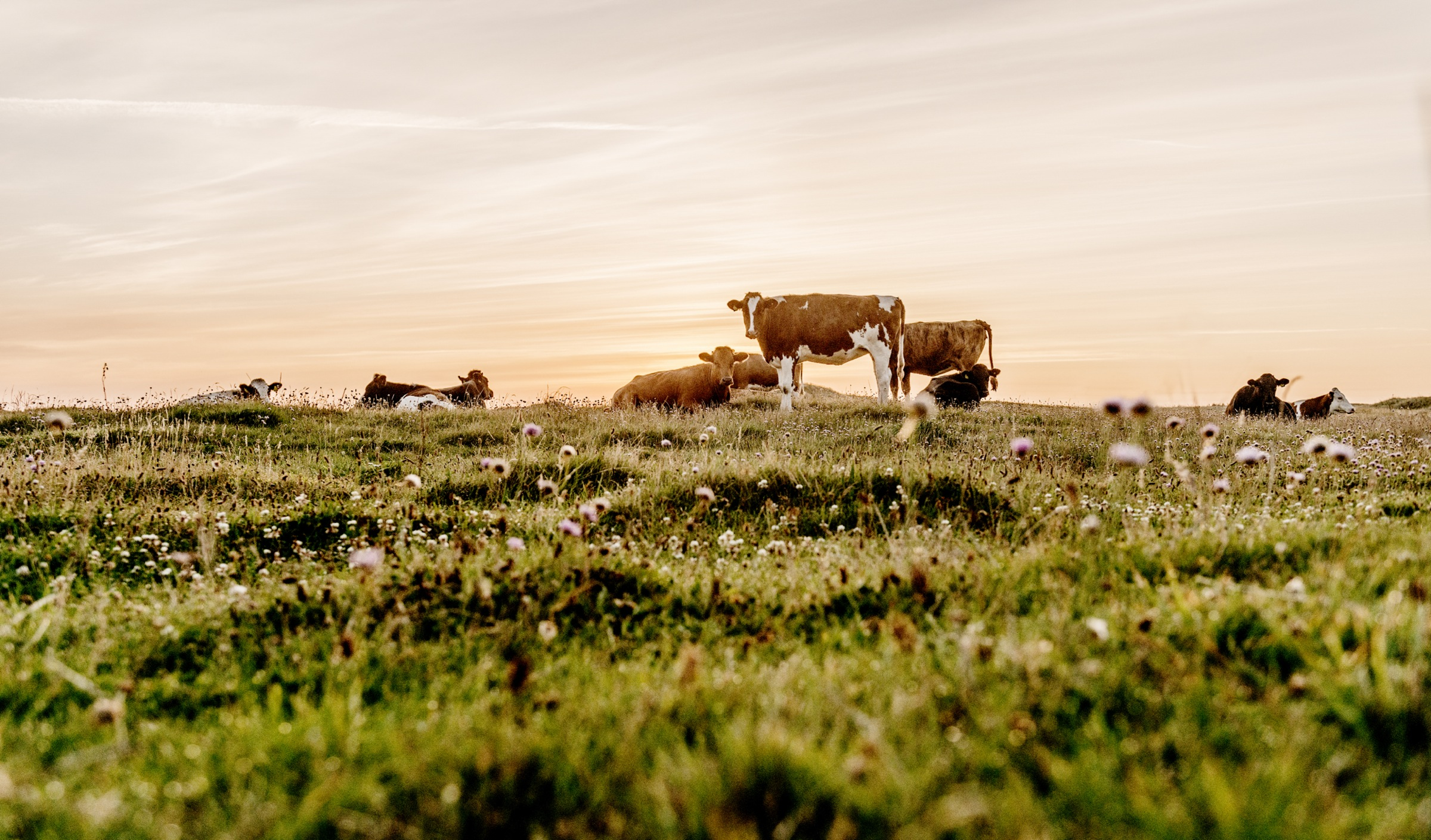 Danish_dune_heath_landscape_with_cows-4_original.jpg
