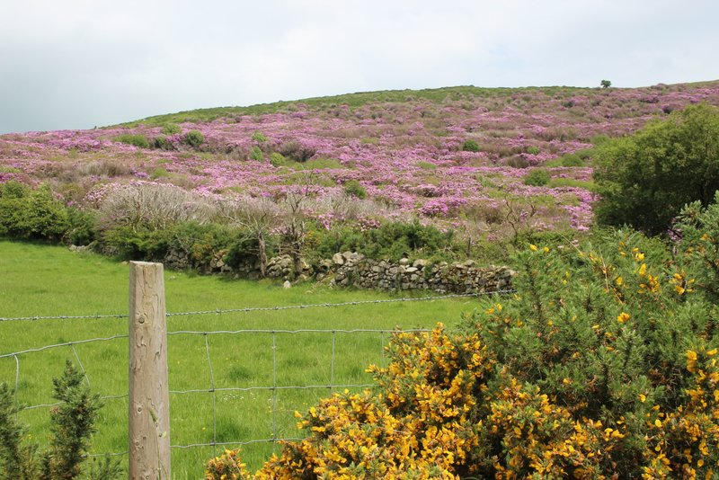 Both rhododendron and gorse in bloom...