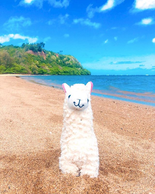 Keep your head in the clouds, your hooves on the ground. Preferably in the sand. 🏝🦙 Happy Friday humans! 💙 #Llamawithnodrama