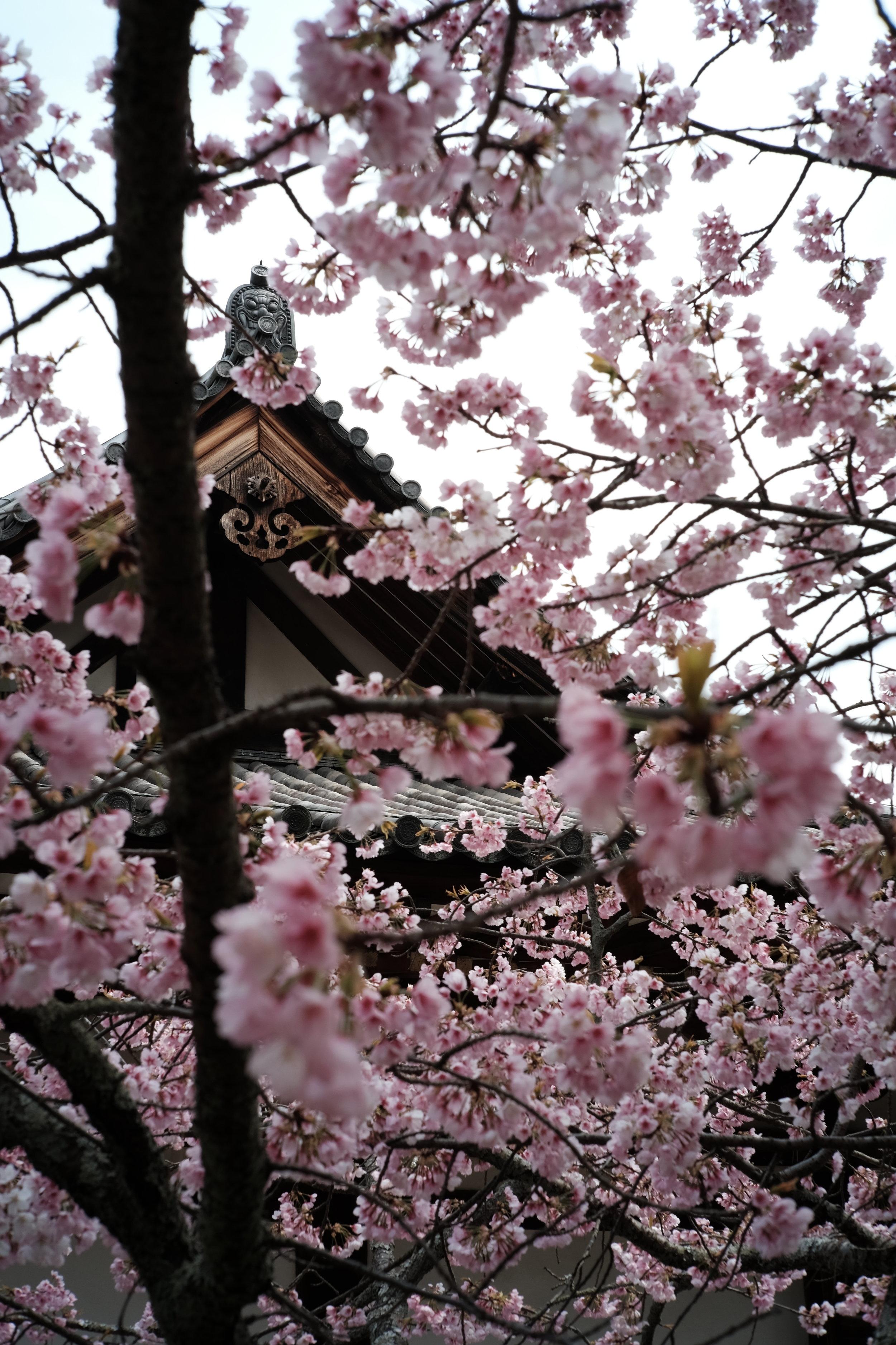 唐招提寺の桜。いや、梅?