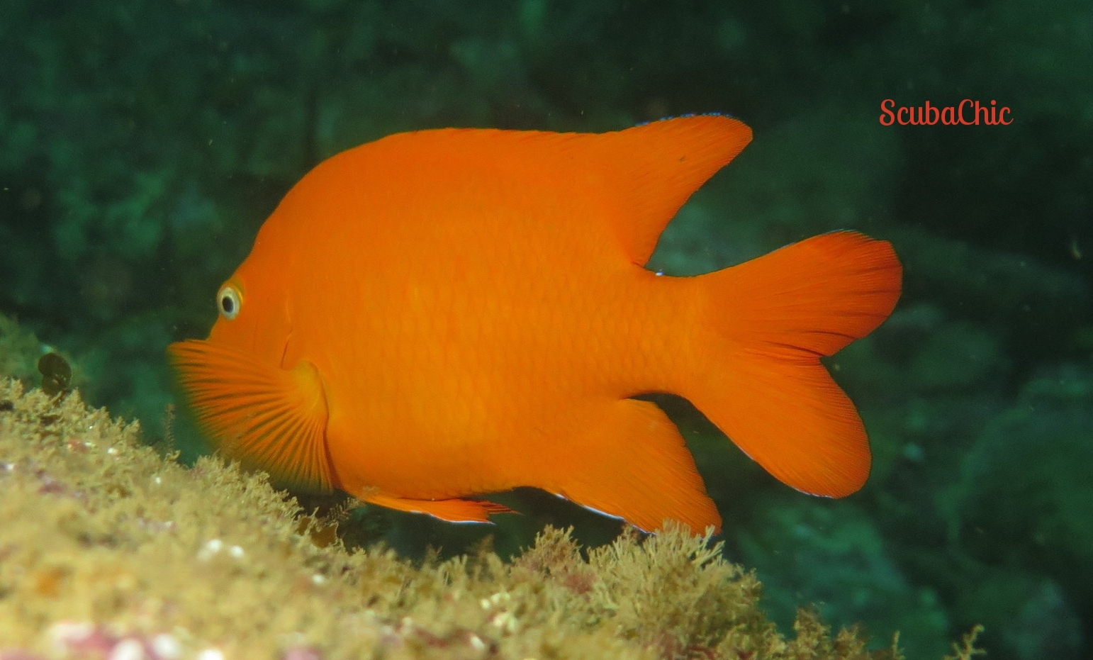 Girabaldi Damselfish