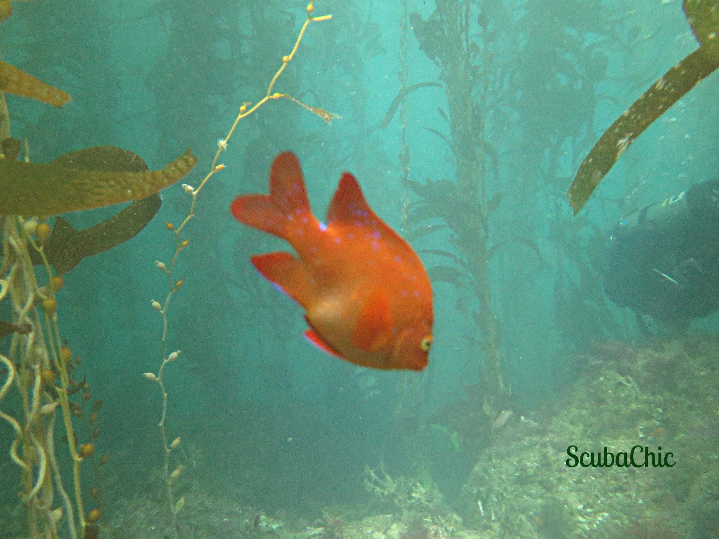 Kelp, Girabaldi, Diver