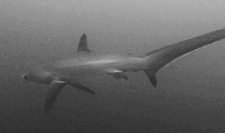 Thresher Shark!!!