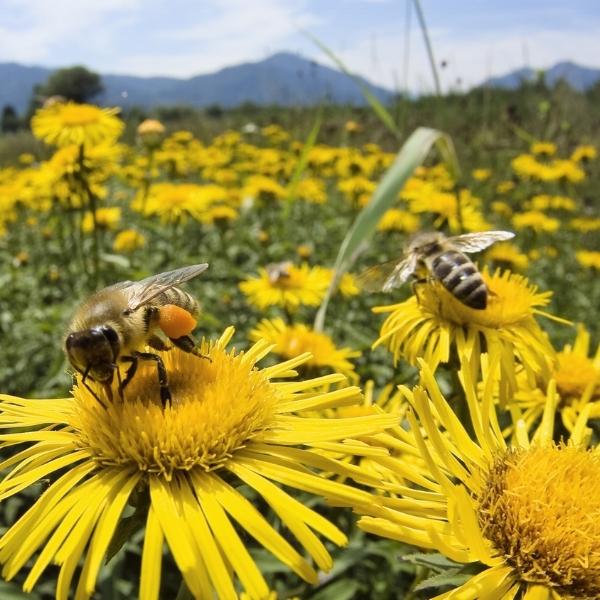 2gtlHoney-Bee-And-SunFlowers.jpg