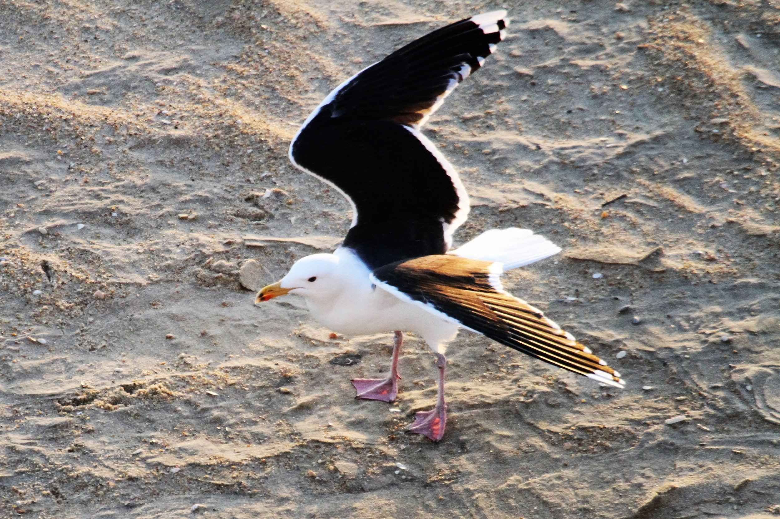 Great Black-backed Gull 4751.JPG