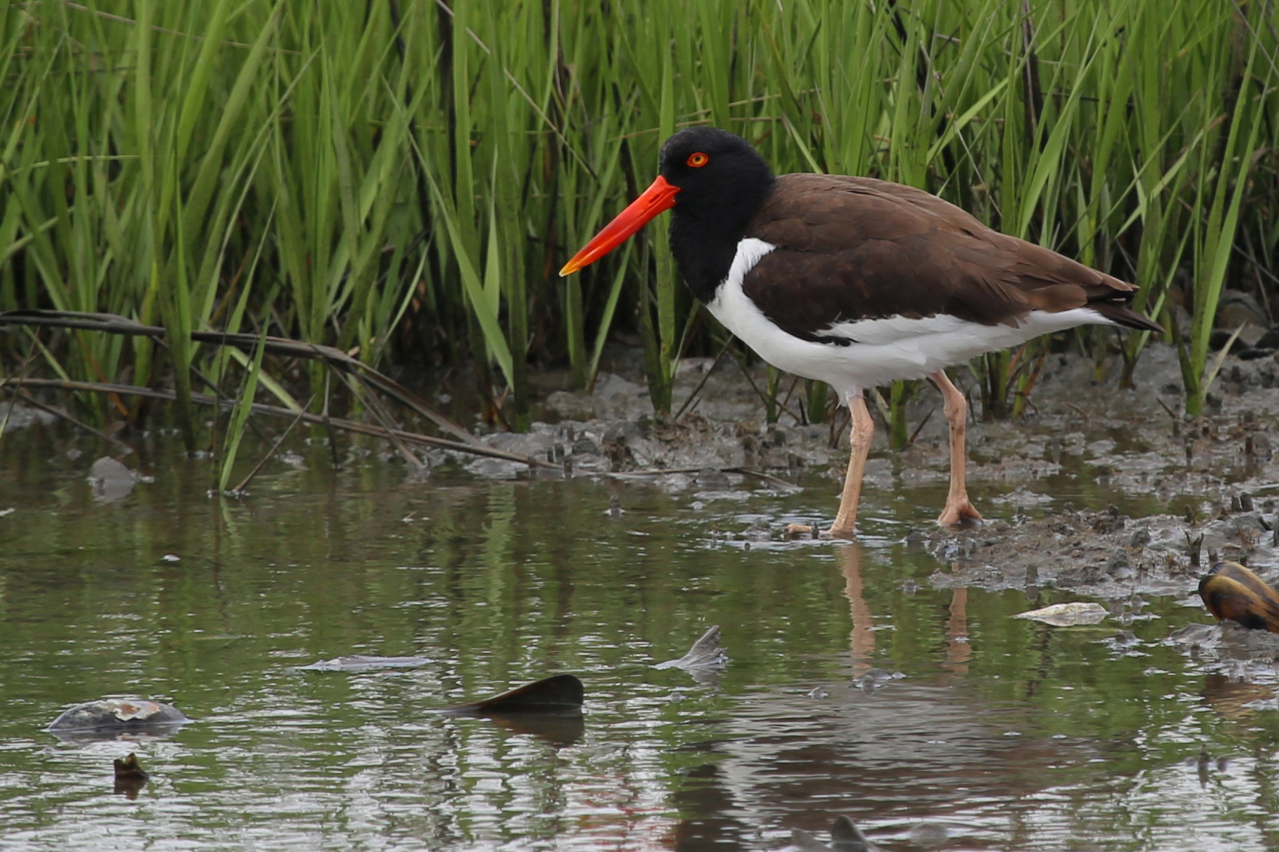 American Oystercatcher at the refuge, photographed May 2013 by Rob Bielawski