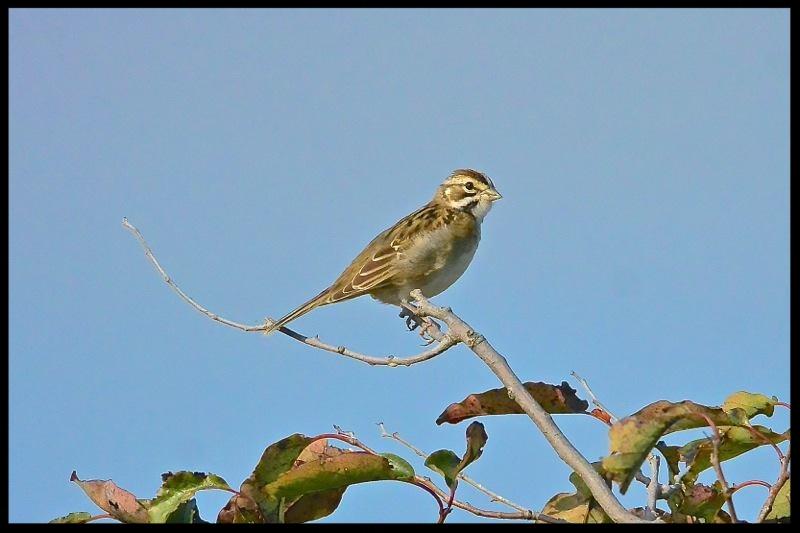 Lark Sparrow At Chincoteague NWR, Photo by Seth Honig