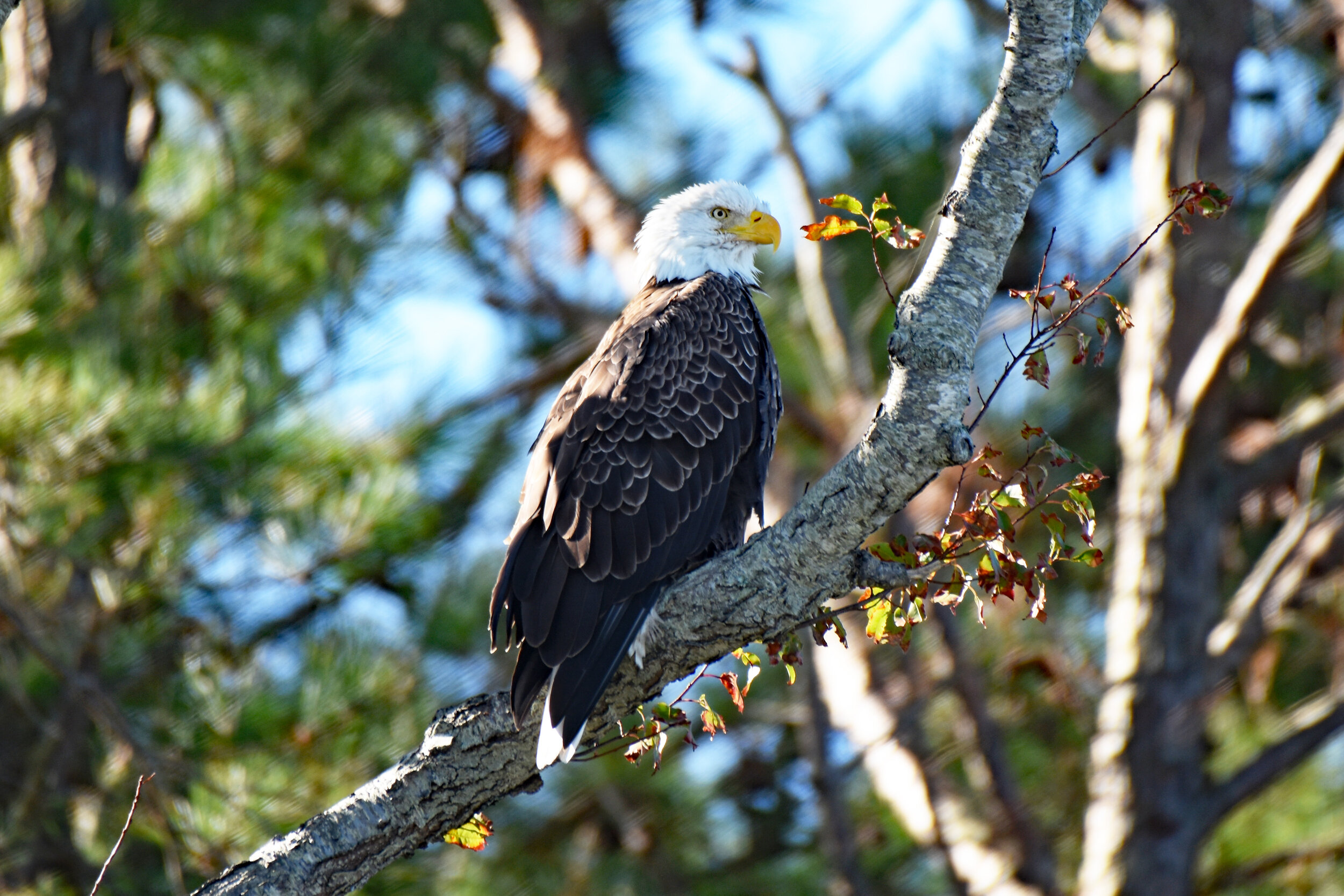 Pam Scrima - Bald Eagle.jpg