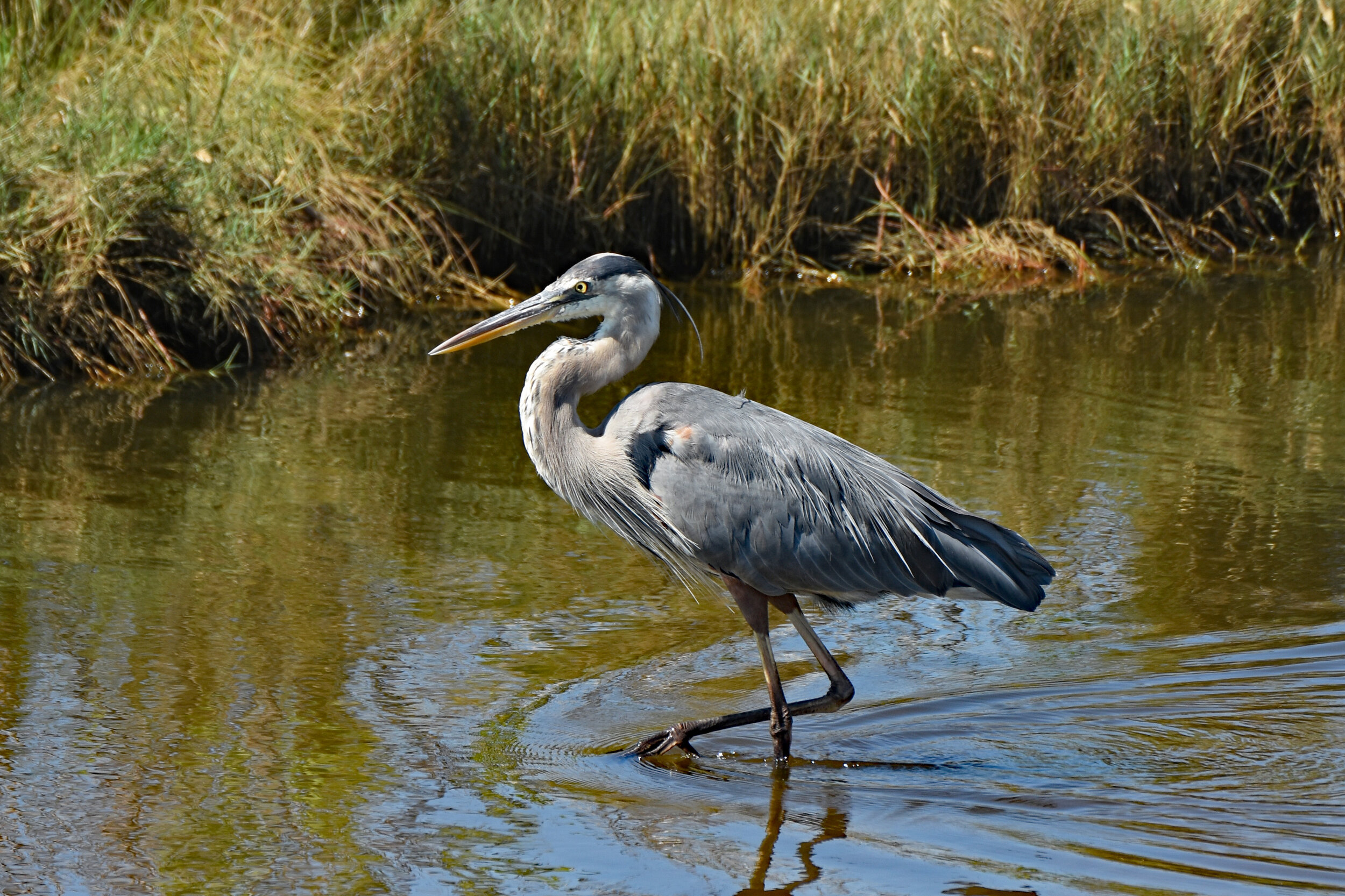 Pam Scrima - Great Blue Heron.jpg