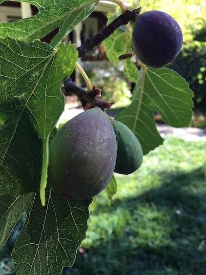 Figs_blog.jpeg