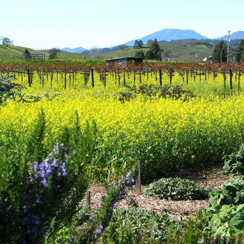Napa Valley mustard