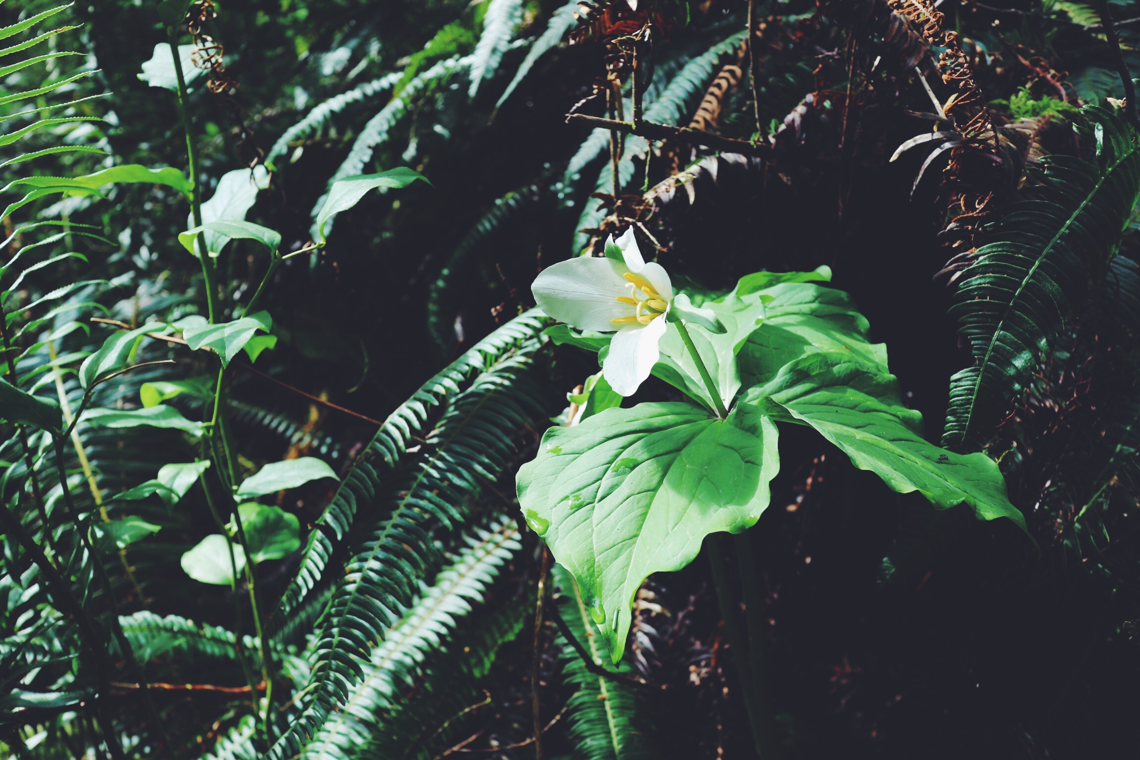 Trillium growing where I once slept near a highway in the woods.