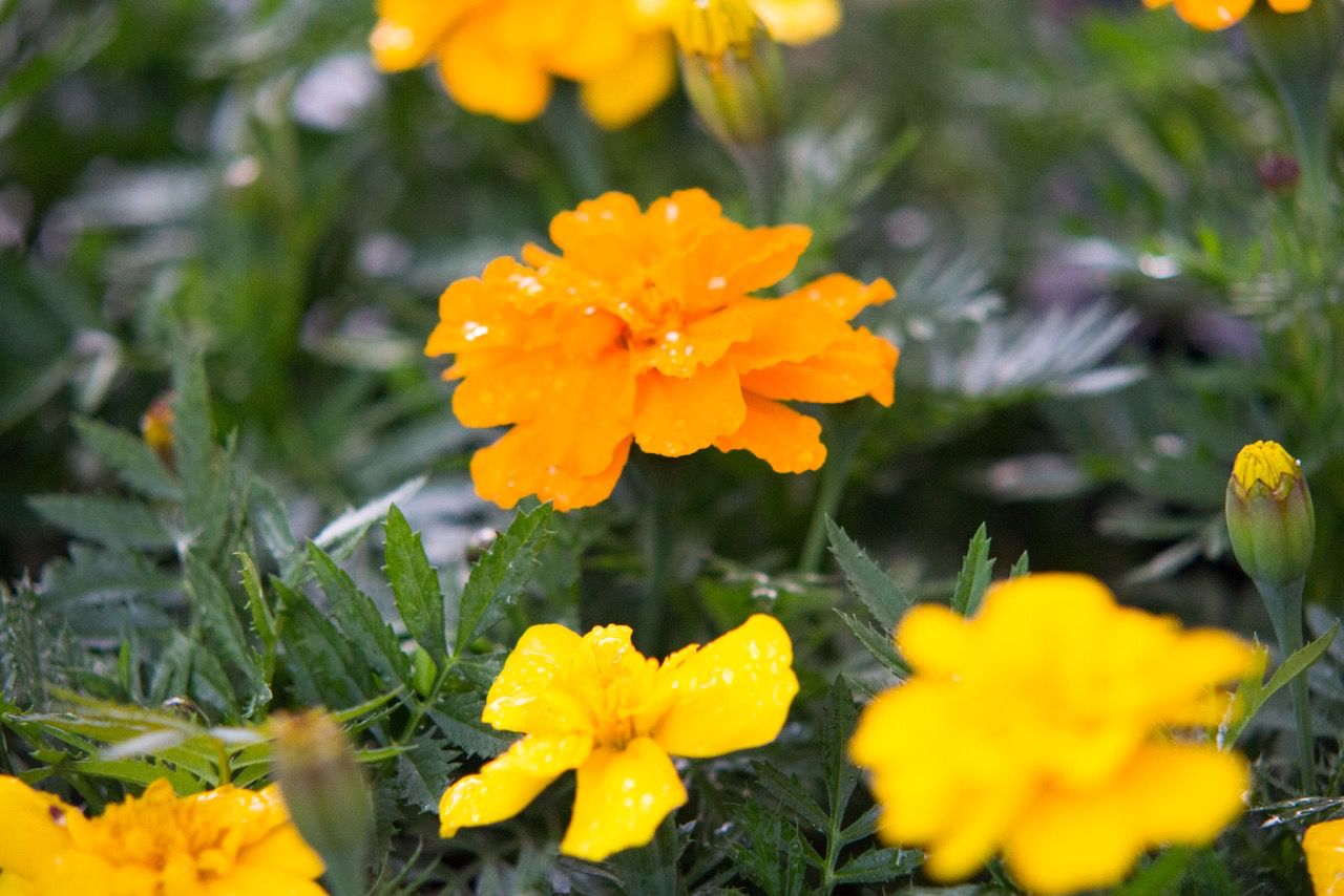 French marigolds have a place in every vegetable garden!